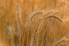 Ears of ripe wheat Stock Photos