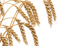 Ears of ripe wheat on a white background Stock Photos
