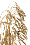 Ears of ripe wheat on a white background Royalty Free Stock Photo