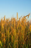 Ears of rye against the blue sky Stock Photo