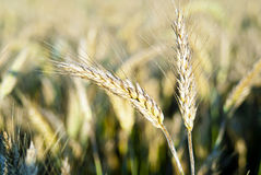Ears of rye on the bright background of the field Stock Image