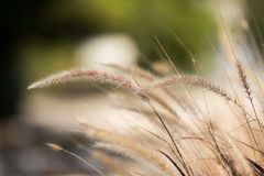 Ears of rye Stock Photography