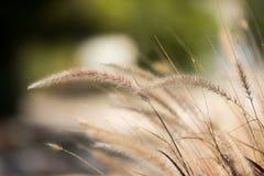 Ears of rye stock photography
