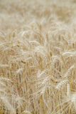 Ears of rye in the field Royalty Free Stock Photography