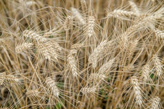 Ears of rye in the field Royalty Free Stock Images