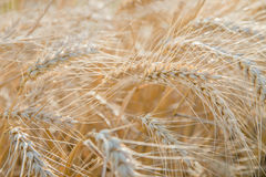 Ears of rye in the field Stock Image