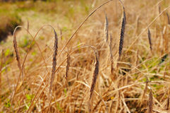 Ears of rye Stock Photos