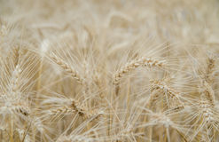 Ears of rye in the field. Close up Royalty Free Stock Images