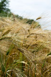 Ears of rye on the field Royalty Free Stock Photo