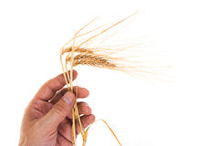 Ears of rye in the hands Royalty Free Stock Photography