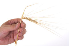 Ears of rye in the hands Royalty Free Stock Images