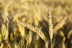 Ears of rye in nature Royalty Free Stock Photography