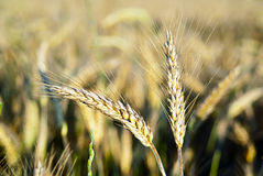 Ears of rye in nature Stock Image