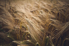 Ears of rye. A rich harvest of cereals Stock Images