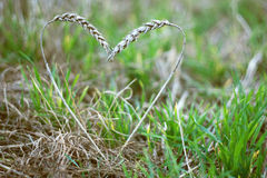 Ears of rye in shape of heart Royalty Free Stock Images