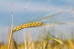 Ears of rye Royalty Free Stock Photos
