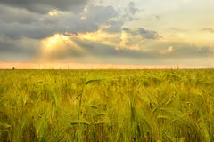 Ears of rye and sunset Royalty Free Stock Images