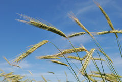 Ears of rye (wheat) Stock Photos