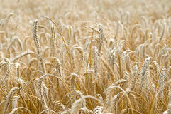 Ears of rye (wheat) cereals Stock Photos