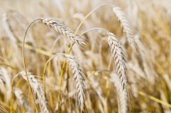 Ears of rye (wheat) cereals Royalty Free Stock Images