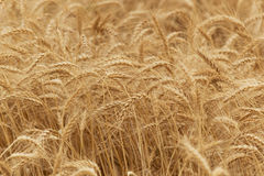Ears of rye (wheat) cereals Royalty Free Stock Photo