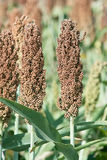Ears of sorghum Royalty Free Stock Photos