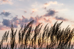 Ears on a sunset with clouds Stock Images