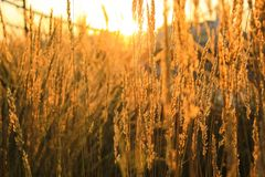 The sun shines through the grass. Ears on sunset, the sun shines through the grass, the sunset Royalty Free Stock Image