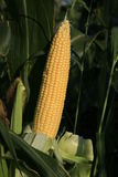 Ears of sweet corn. Royalty Free Stock Images