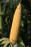 Ears of sweet corn. Royalty Free Stock Photography