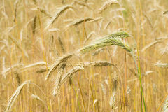 Ears of unripe wheat Stock Image