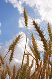 Ears of wheat. Against a background of the sky stock image