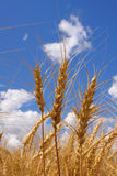 Ears of wheat. Against a background of the sky royalty free stock photos