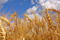 Ears of wheat. Against a background of the sky stock photos