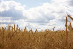 Ears of wheat. Against a background of the sky royalty free stock images