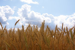 Ears of wheat. Against a background of the sky royalty free stock image