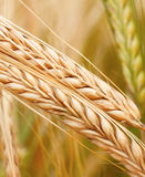 Ears of wheat Stock Image