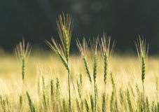 Ears of wheat. Mature ears of wheat field Stock Photo