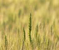 Ears of wheat. Mature ears of wheat field Royalty Free Stock Image