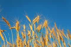 Ears of wheat against background of sky Stock Photography