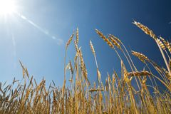 Ears of wheat against the blue sky Royalty Free Stock Photos