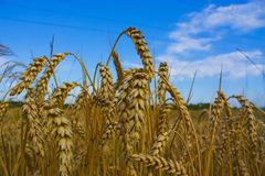 Ears of wheat stock images