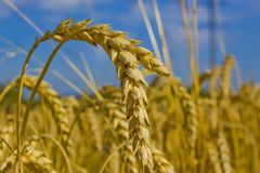 Ears of wheat Stock Photo