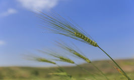 Ears of wheat against the blue sky Royalty Free Stock Image