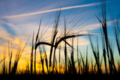 Ears of wheat against sunset Royalty Free Stock Photo