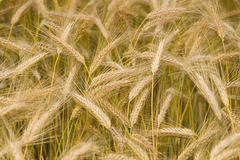 Ears of wheat. Background. Stock Image
