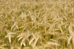 Ears of wheat. Background. Royalty Free Stock Images