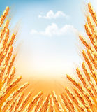 Ears of wheat background. Stock Photo