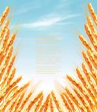 Ears of wheat background. Vector royalty free illustration