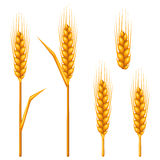 Ears of wheat, barley or rye. Agricultural image for decoration bread packaging Stock Photography